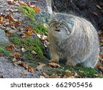 Small photo of Manul sneaksing up. Pallas's cat