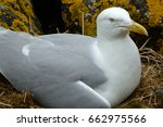 Small photo of Black-backed gull, Inchcolm Island, Scotland