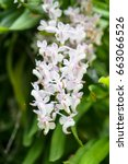 Foxtail Orchid Or Rhynchostyli...