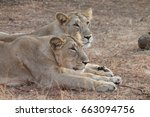 Two Lioness Resting After Thei...