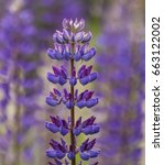 lupinus polyphyllus | Shutterstock . vector #663122002