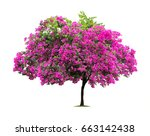 Isolated Bougainvillea On Whit...