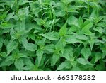 Small photo of Green fresh nettle background. Stinging nettles with leaves covered with fine hairs that sting.