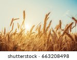 gold wheat field. beautiful... | Shutterstock . vector #663208498