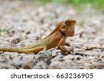 close up lizard on ground | Shutterstock . vector #663236905