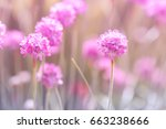 Little Pink Thrift Flowers On ...
