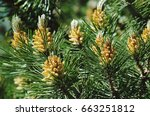 Pinus mugo   it is also known...