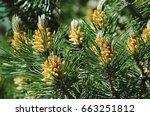 Pinus mugo   it is also known...