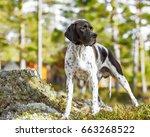 hunting dog english pointer... | Shutterstock . vector #663268522
