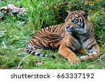 sumatra tiger portrait close up ... | Shutterstock . vector #663337192