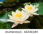 Two White Lotus