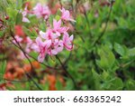 Tiny Pink Rhododendron Flowers...