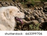 Portrait Of Maremma Sheepdog ...