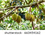 durian in the garden  ben tre ... | Shutterstock . vector #663454162
