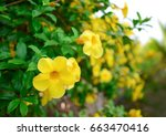 Small photo of Yellow Allamanda or Yellow trumpet flower Bush