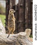 An Meerkat Observes The...