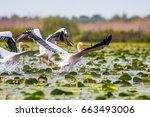 pelicans and waterlilies  | Shutterstock . vector #663493006
