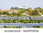 flying pelicans  | Shutterstock . vector #663493036