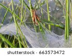 Small photo of Small Grasshopper escapes from the dewy flat plate web of a Funnel-web spider, probably Agelena labyrinthica
