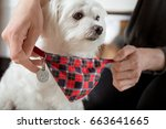Stock photo putting on dog collar with scarf and address pendant 663641665