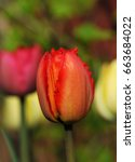 red fringed tulip called 'red... | Shutterstock . vector #663684022