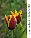 red and yellow tulip called ... | Shutterstock . vector #663684082