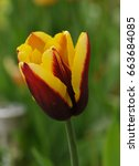red and yellow tulip called ... | Shutterstock . vector #663684085