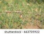 Small photo of Malachite Kingfisher (Alcedo cristata) in Uganda