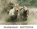 Cows Race On The Splashing Mud...