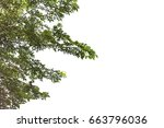 green leaves and branch... | Shutterstock . vector #663796036