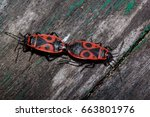 Two Red Soldier Bug On A Woode...