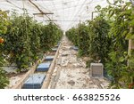 rows of tomato plants growing... | Shutterstock . vector #663825526