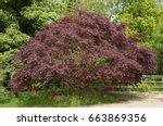 Acer Palmatum 'dissectum'  Cut...