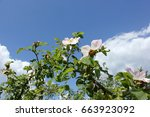 briar flowers on cloudy sky | Shutterstock . vector #663923092