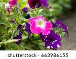 petunia blooming in the garden | Shutterstock . vector #663986155