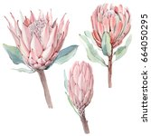 watercolor vintage protea... | Shutterstock . vector #664050295