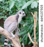 madagascar lemur   Shutterstock . vector #664137505