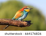 colored bird on a dry pine... | Shutterstock . vector #664176826