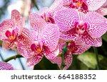 phalaenopsis orchid flower | Shutterstock . vector #664188352