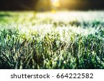 green grass with dew drops in... | Shutterstock . vector #664222582