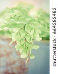 Small photo of Adiantum. Macro of adiantum philippense or maidenhair fern growing in a pot on the windowsill