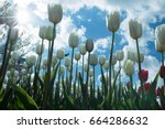 spring flowers background. red...   Shutterstock . vector #664286632
