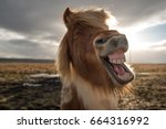 Stock photo funny and crazy icelandic horse 664316992