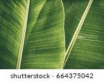 banana foliage  large dark... | Shutterstock . vector #664375042