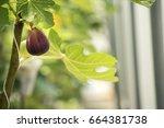 Close Up Of Fig Fruit Get Ripe...