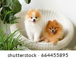 Pomeranian Dog Smile Animal...