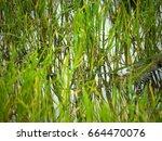 rice fields in rainy season   Shutterstock . vector #664470076