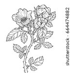 roses isolated. vector artwork. ... | Shutterstock .eps vector #664474882