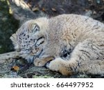 Small photo of Pallas's cat. Manul is asleep. Manul the sleeper.