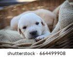 yellow labrador puppy sitting... | Shutterstock . vector #664499908